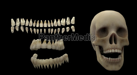 3d rendering of human teeth and