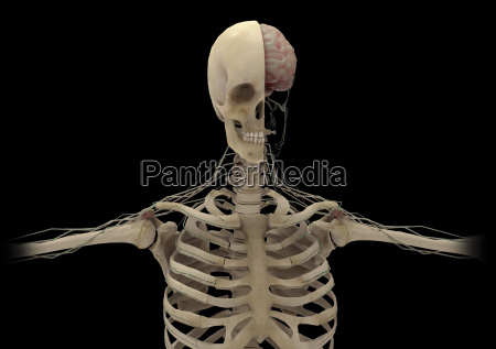 human skeleton with transectional view of