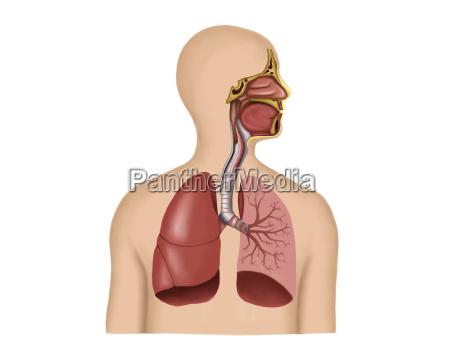 anatomy of human respiratory system