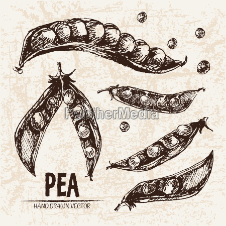 digital vector detailed line art pea